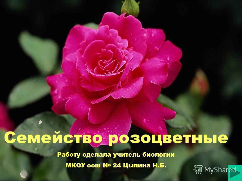 Семейство розоцветные Работу сделала учитель биологии МКОУ оош 24 Цыпина Н.Б.
