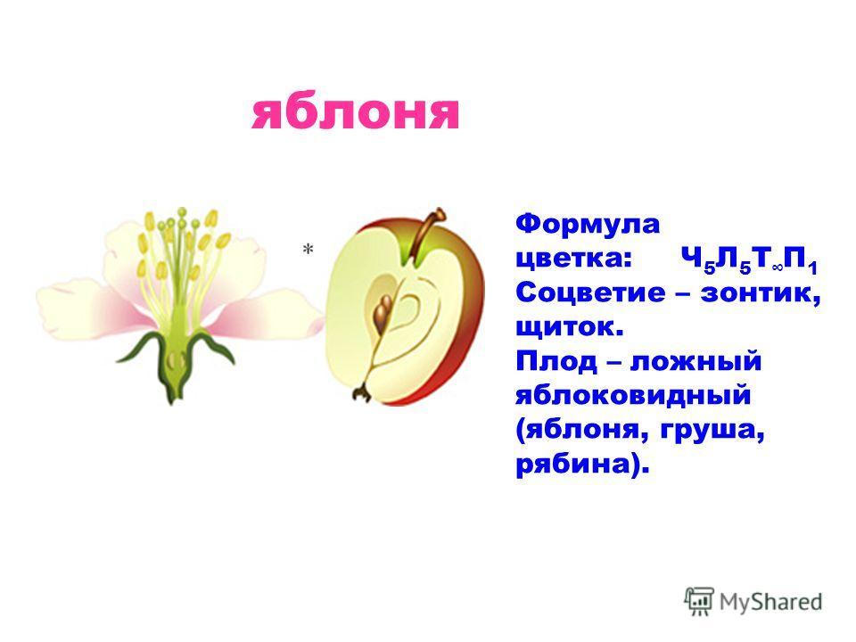 яблоня Формула цветка: Ч 5 Л 5 Т П 1 Соцветие – зонтик, щиток. Плод – ложный яблоковидный (яблоня, груша, рябина).