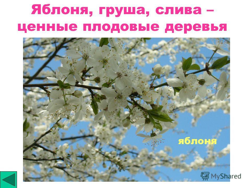 Яблоня, груша, слива – ценные плодовые деревья яблоня