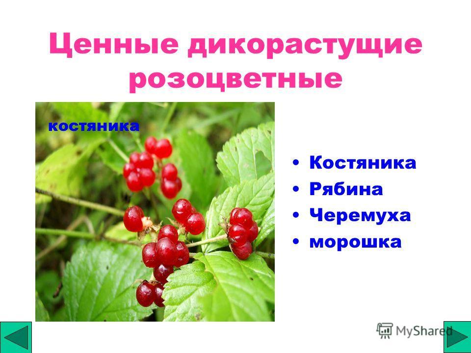 Ценные дикорастущие розоцветные Костяника Рябина Черемуха морошка костяника