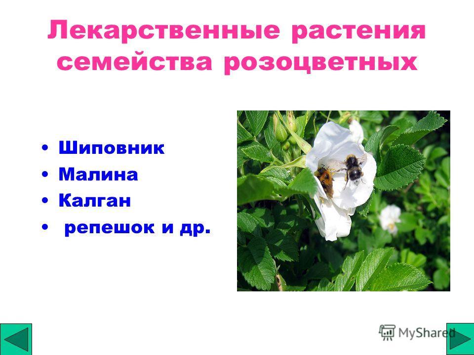 Лекарственные растения семейства розоцветных Шиповник Малина Калган репешок и др.