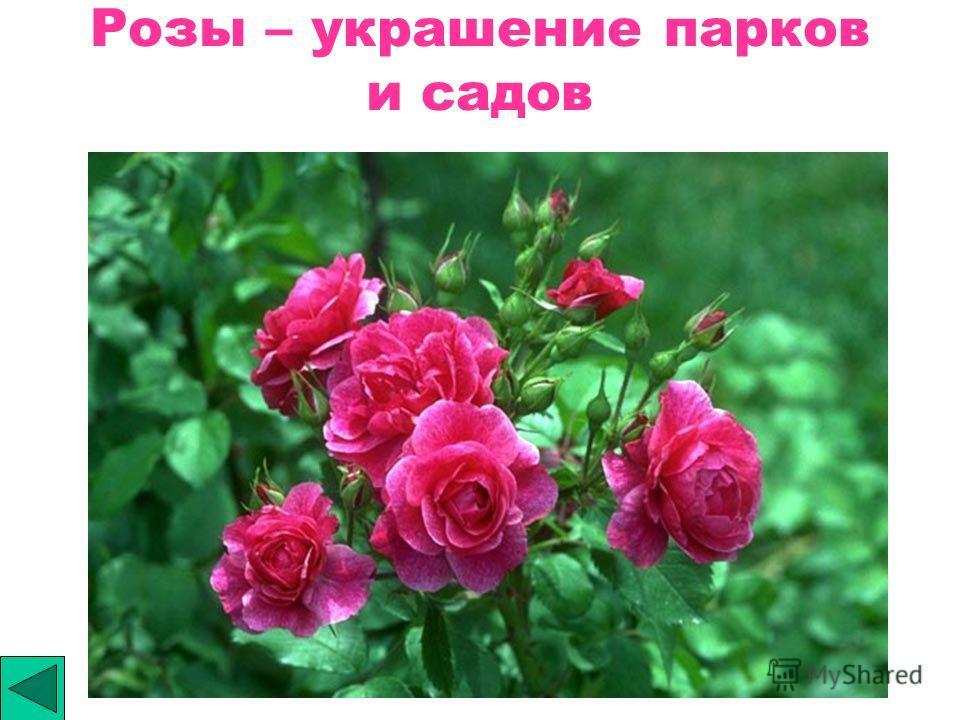 Розы – украшение парков и садов