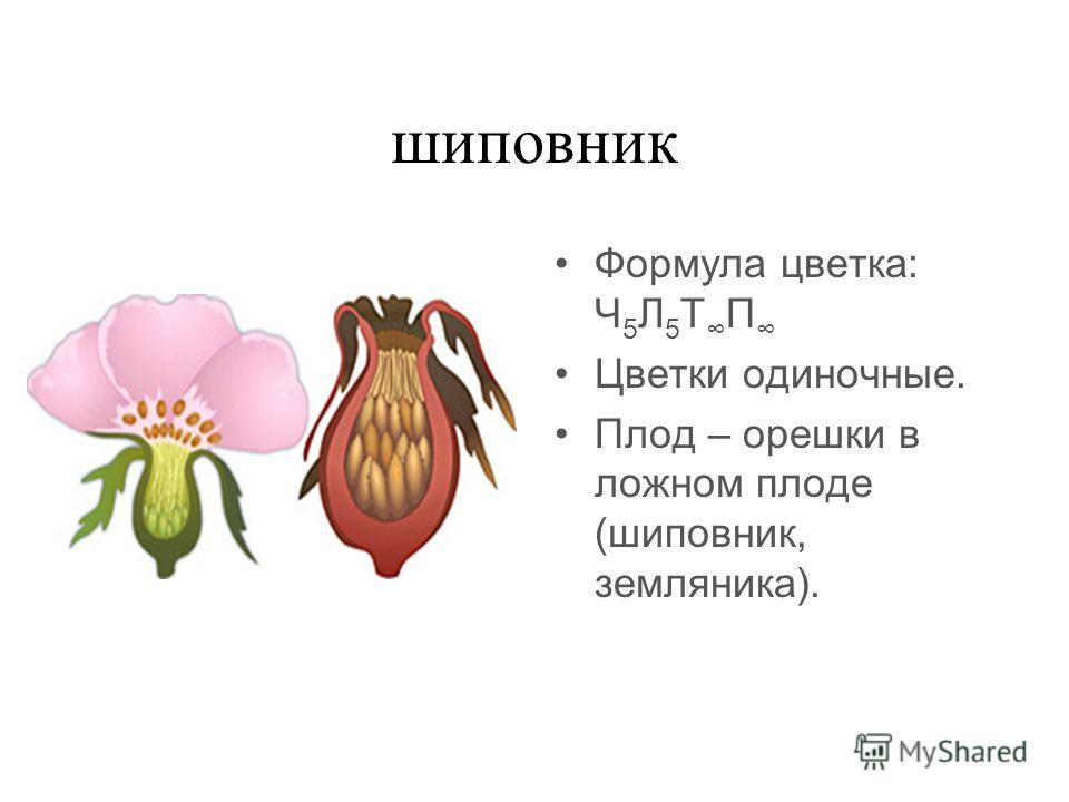 шиповник Формула цветка: Ч 5 Л 5 Т П Цветки одиночные. Плод – орешки в ложном плоде (шиповник, земляника).