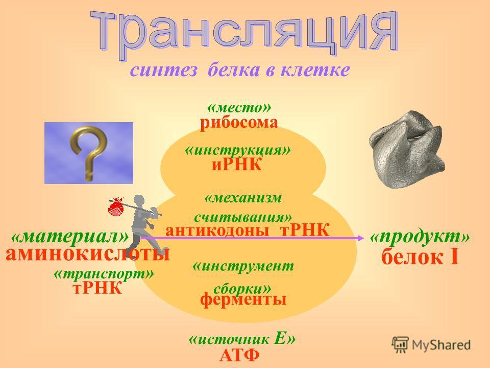 синтез « место » « инструкция » « материал» « транспорт » « инструмент сборки » « продукт » « источник Е» «механизм считывания» белка в клетке рибосома иРНК антикодоны тРНК ферменты АТФ белок I тРНК аминокислоты