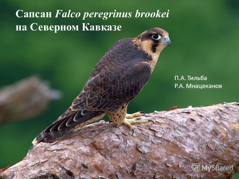 Сапсан Falco peregrinus brookei на Северном Кавказе П.А. Тильба Р.А. Мнацеканов