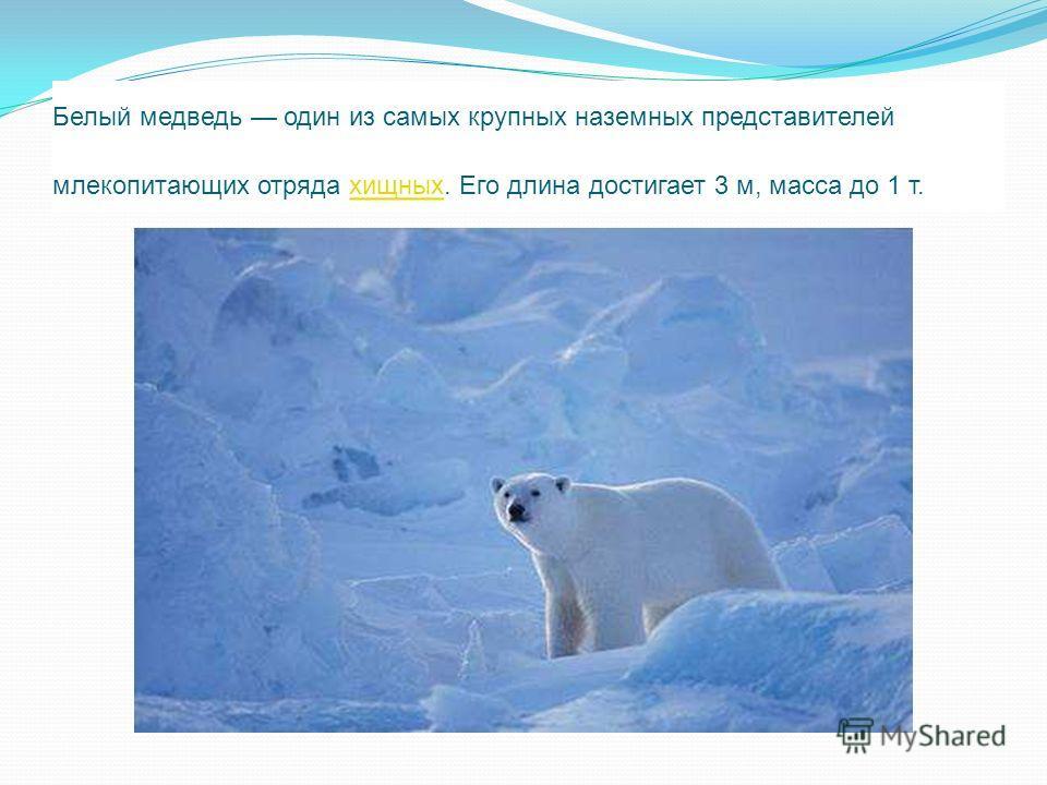 Белый медведь один из самых крупных наземных представителей млекопитающих отряда хищных. Его длина достигает 3 м, масса до 1 т. хищных