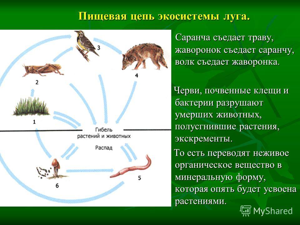 Пищевая цепь экосистемы луга. Саранча съедает траву, жаворонок съедает саранчу, волк съедает жаворонка. Саранча съедает траву, жаворонок съедает саранчу, волк съедает жаворонка. Черви, почвенные клещи и бактерии разрушают умерших животных, полусгнивш