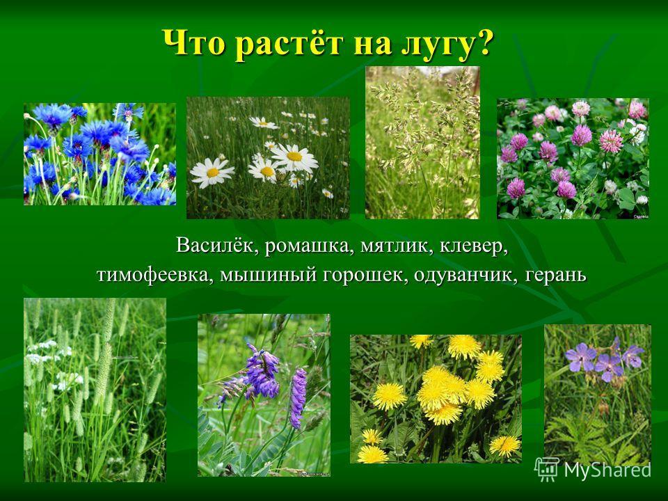 Что растёт на лугу? Василёк, ромашка, мятлик, клевер, тимофеевка, мышиный горошек, одуванчик, герань
