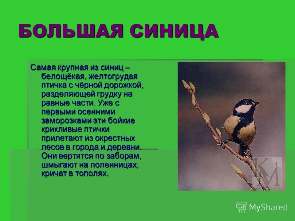 БОЛЬШАЯ СИНИЦА Самая крупная из синиц – белощёкая, желтогрудая птичка с чёрной дорожкой, разделяющей грудку на равные части. Уже с первыми осенними заморозками эти бойкие крикливые птички прилетают из окрестных лесов в города и деревни. Они вертятся