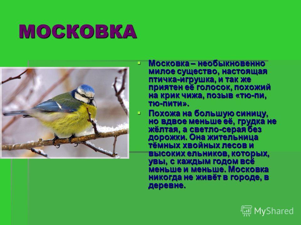 МОСКОВКА Московка – необыкновенно милое существо, настоящая птичка-игрушка, и так же приятен её голосок, похожий на крик чижа, позыв «тю-пи, тю-пити». Московка – необыкновенно милое существо, настоящая птичка-игрушка, и так же приятен её голосок, пох