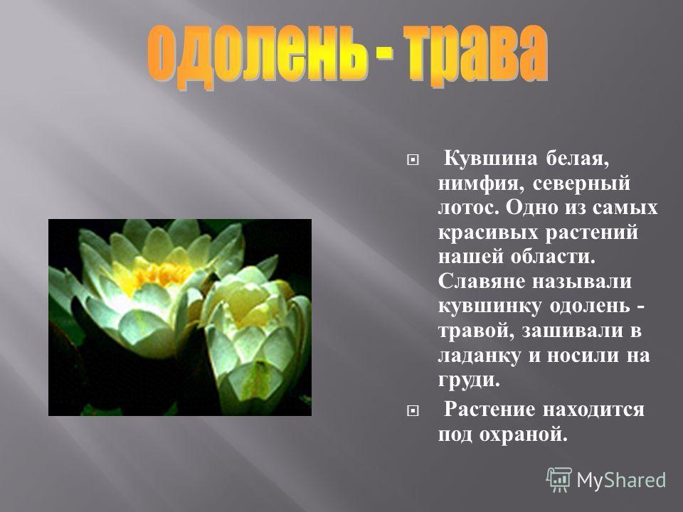 Красивые желтые цветки кубышки многие видели. Их лучше поберечь, не отрывать. Обрывание приносит кубышке большой вред, даже может привести к гибели вс