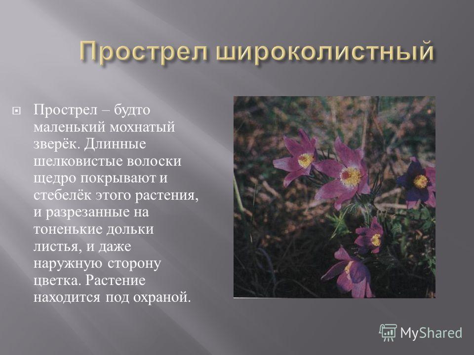 Кувшина белая, нимфия, северный лотос. Одно из самых красивых растений нашей области. Славяне называли кувшинку одолень - травой, зашивали в ладанку и носили на груди. Растение находится под охраной.