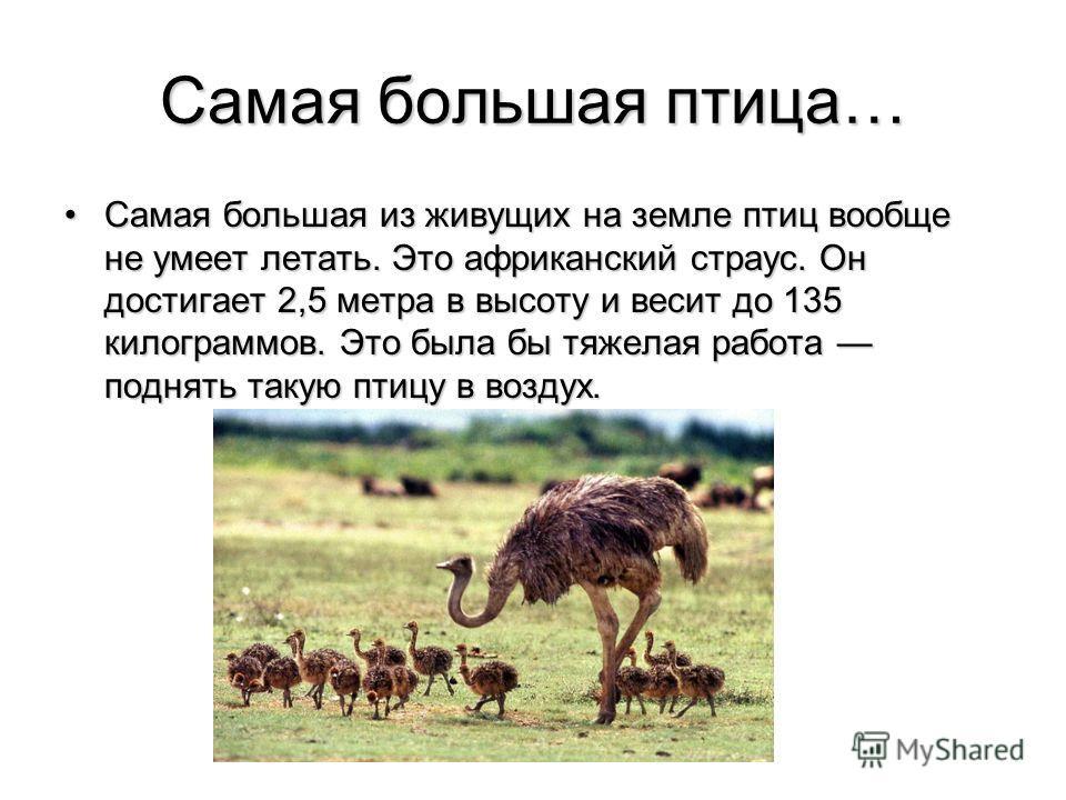 Самая большая птица… Самая большая из живущих на земле птиц вообще не умеет летать. Это африканский страус. Он достигает 2,5 метра в высоту и весит до 135 килограммов. Это была бы тяжелая работа поднять такую птицу в воздух.Самая большая из живущих н
