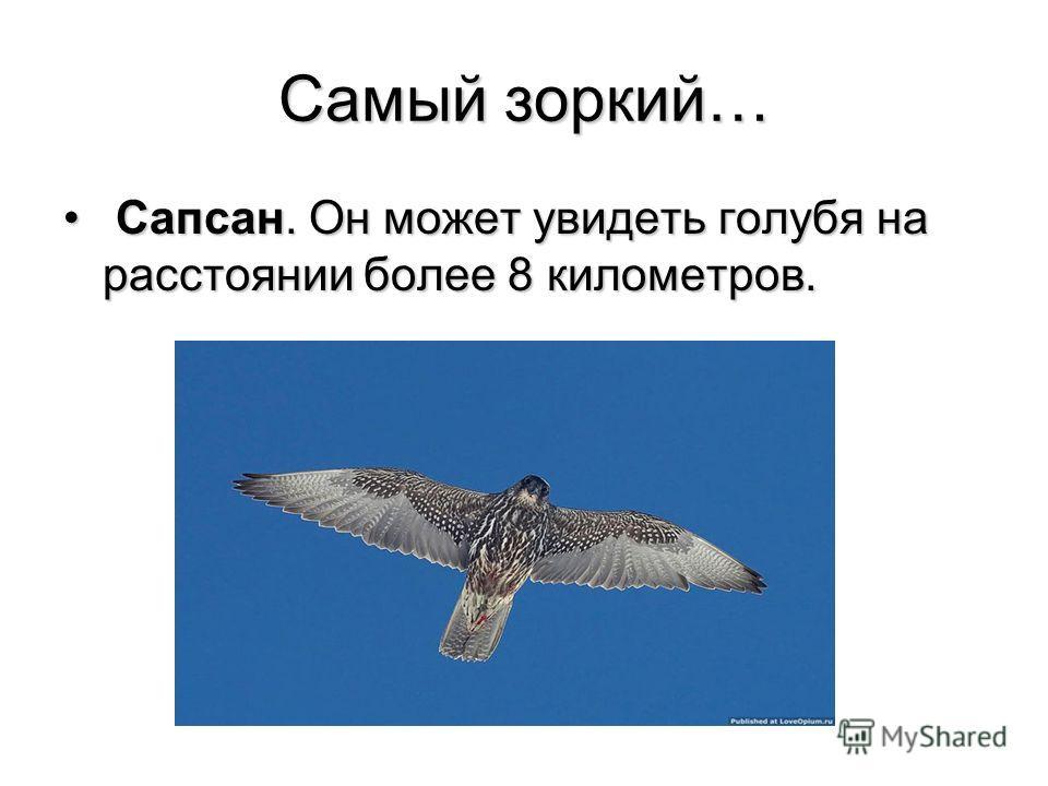 Самый зоркий… Сапсан. Он может увидеть голубя на расстоянии более 8 километров. Сапсан. Он может увидеть голубя на расстоянии более 8 километров.