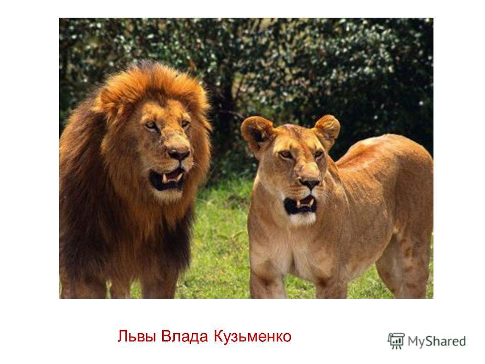Львы Влада Кузьменко