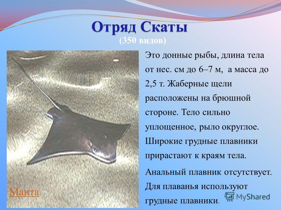 Отряд Скаты Это донные рыбы, длина тела от нес. см до 6–7 м, а масса до 2,5 т. Жаберные щели расположены на брюшной стороне. Тело сильно уплощенное, рыло округлое. Широкие грудные плавники прирастают к краям тела. Анальный плавник отсутствует. Для пл