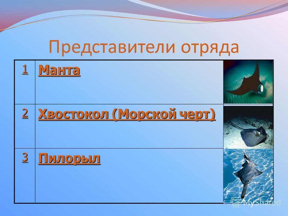 Представители отряда 1111 Манта 2222 Хвостокол (Морской черт) Хвостокол (Морской черт) 3333 Пилорыл