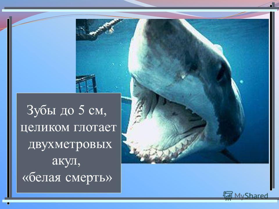 Зубы до 5 см, целиком глотает двухметровых акул, «белая смерть»