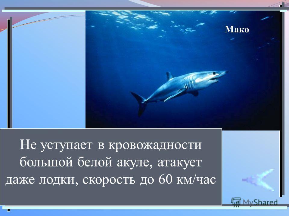 Мако Не уступает в кровожадности большой белой акуле, атакует даже лодки, скорость до 60 км/час
