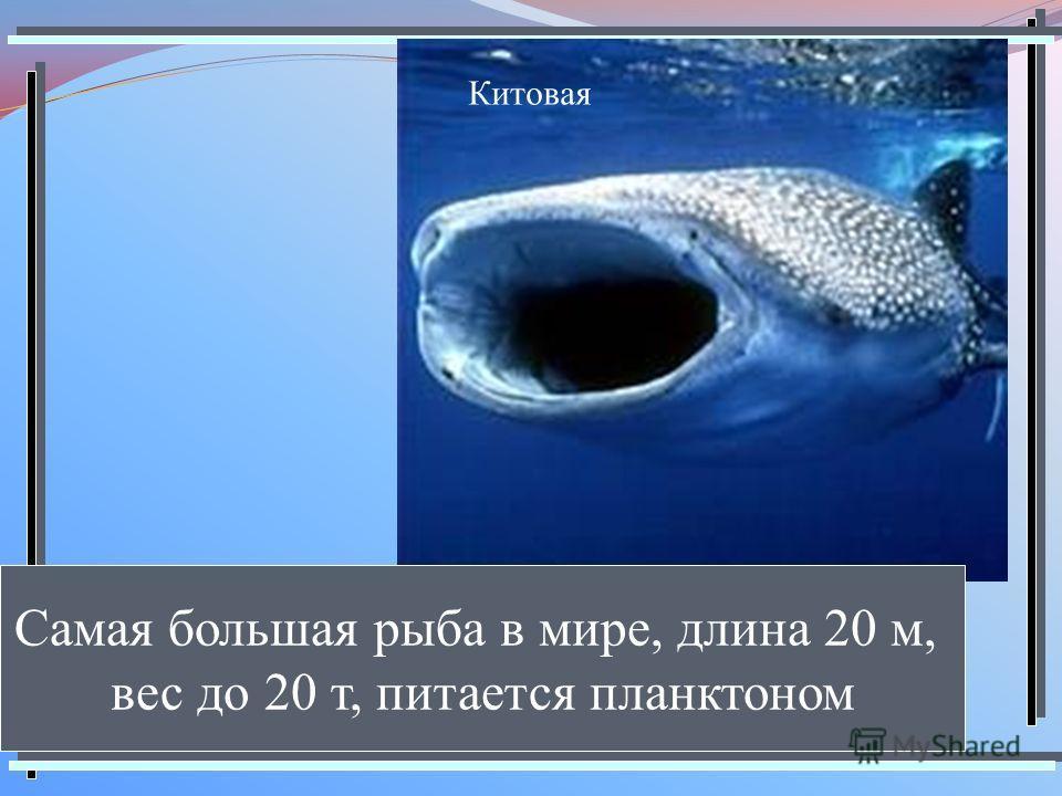 Китовая Самая большая рыба в мире, длина 20 м, вес до 20 т, питается планктоном