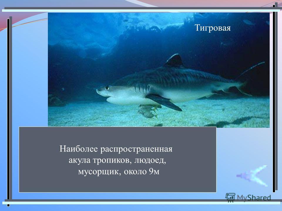 Тигровая Наиболее распространенная акула тропиков, людоед, мусорщик, около 9м