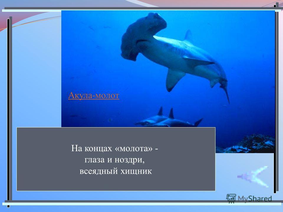 Акула-молот На концах «молота» - глаза и ноздри, всеядный хищник