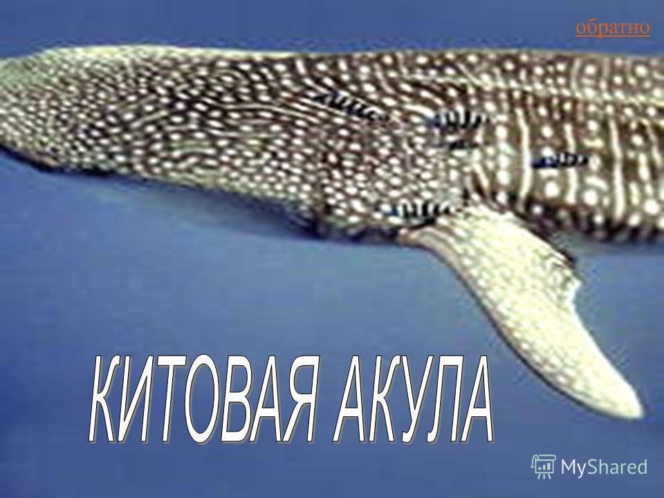Китовая Акула обратно