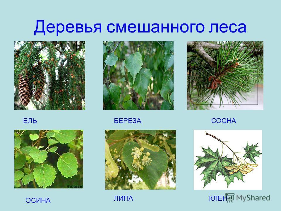 Деревья смешанного леса ЕЛЬБЕРЕЗАСОСНА ОСИНА ЛИПАКЛЕН