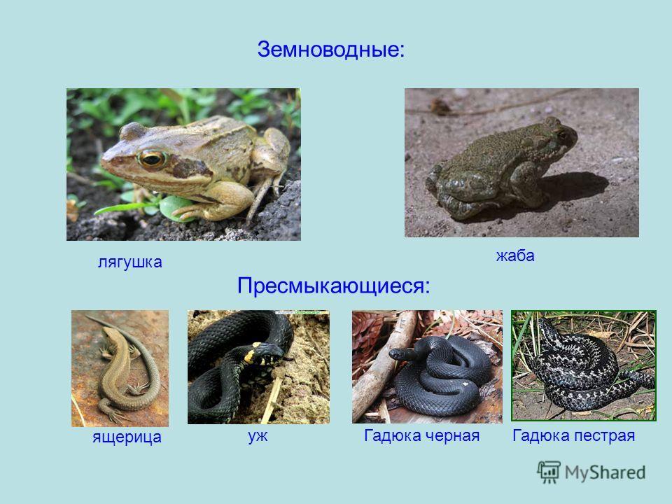 Земноводные: лягушка жаба ящерица ужГадюка чернаяГадюка пестрая Пресмыкающиеся: