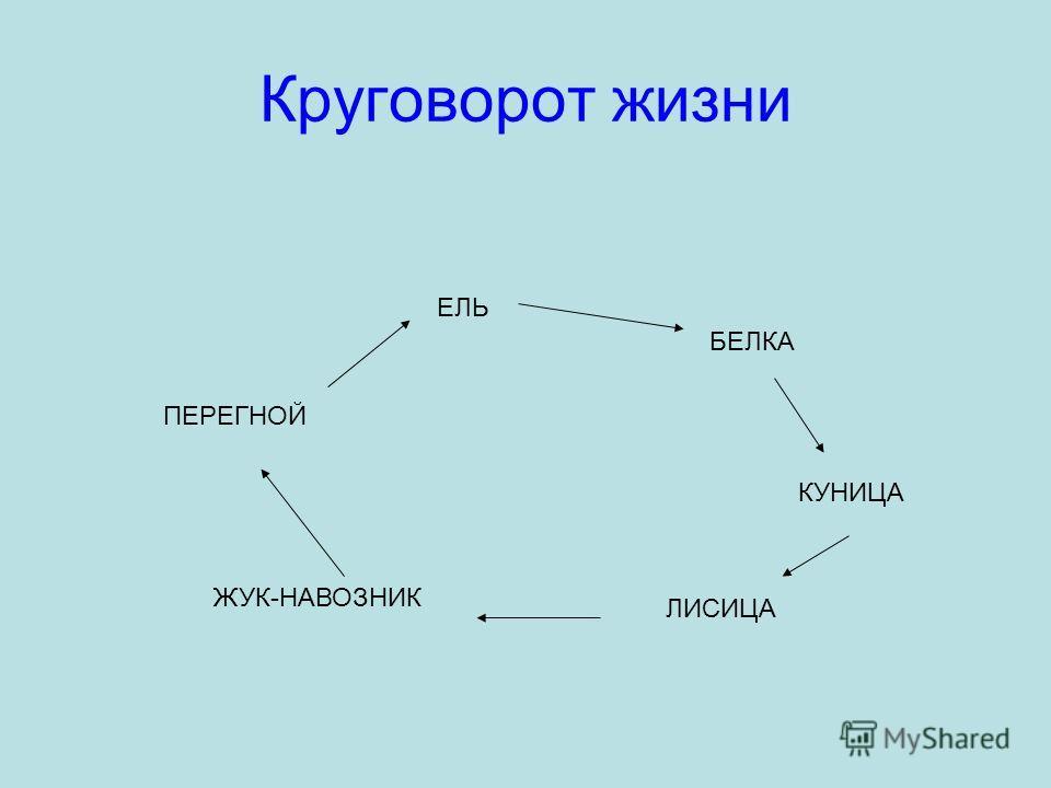 Круговорот жизни ЕЛЬ БЕЛКА КУНИЦА ЛИСИЦА ЖУК-НАВОЗНИК ПЕРЕГНОЙ