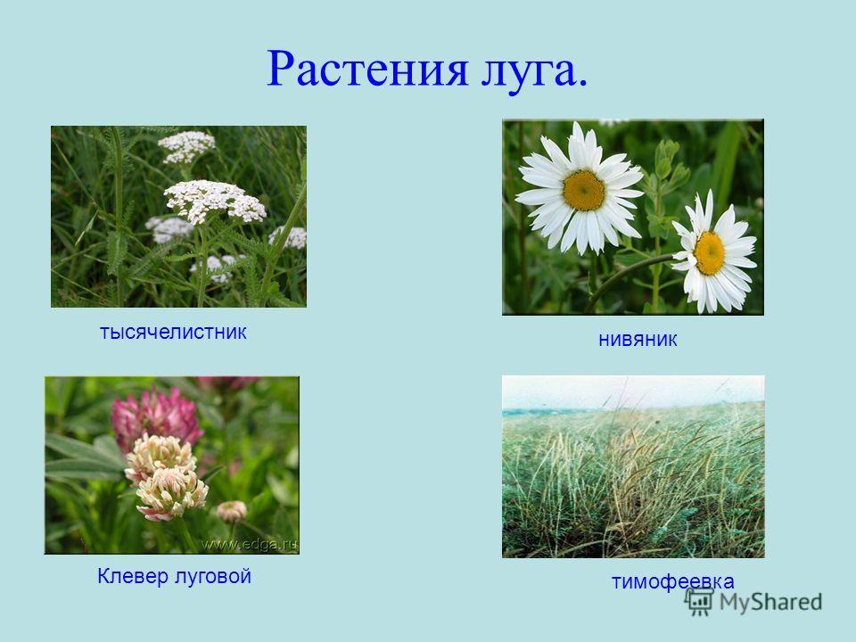 Растения луга. тысячелистник нивяник тимофеевка Клевер луговой