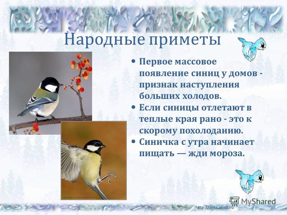 Народные приметы Первое массовое появление синиц у домов - признак наступления больших холодов. Если синицы отлетают в теплые края рано - это к скорому похолоданию. Синичка с утра начинает пищать жди мороза.