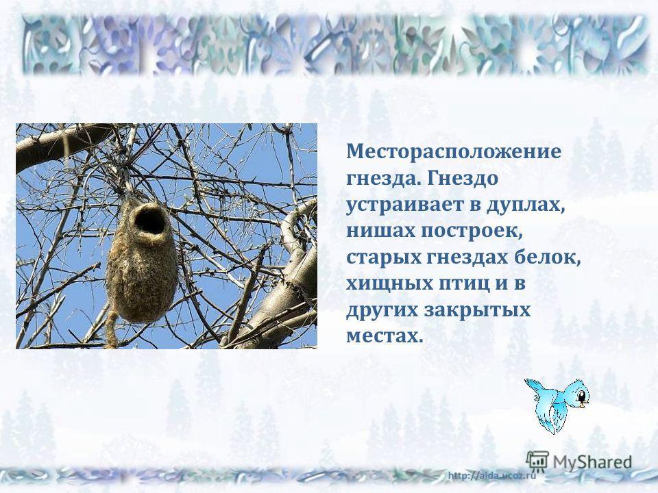 Месторасположение гнезда. Гнездо устраивает в дуплах, нишах построек, старых гнездах белок, хищных птиц и в других закрытых местах.