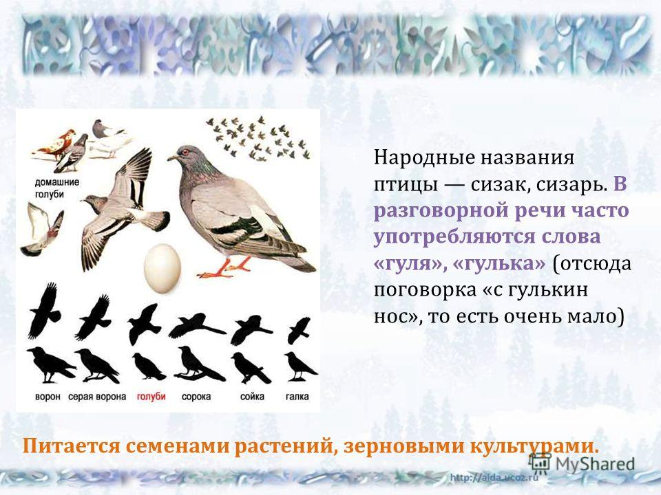 Народные названия птицы сизак, сизарь. В разговорной речи часто употребляются слова « гуля », « гулька » ( отсюда поговорка « с гулькин нос », то есть очень мало ) Питается семенами растений, зерновыми культурами.