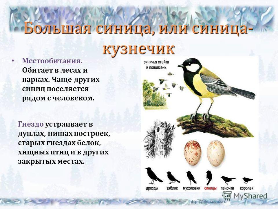 Большая синица, или синица - кузнечик Местообитания. Обитает в лесах и парках. Чаще других синиц поселяется рядом с человеком. Гнездо устраивает в дуплах, нишах построек, старых гнездах белок, хищных птиц и в других закрытых местах.