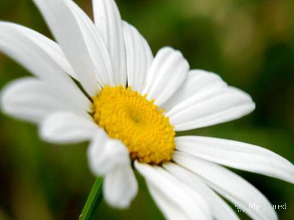 По легенде, в древние времена соцветия этого растения использовались степными гномами в качестве зонтиков. А в настоящее время отвар из этого растения используют в качестве противовоспалительного средства. Назови его.