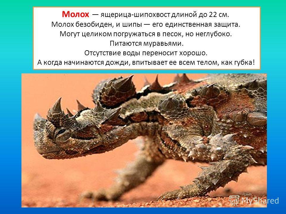 Молох ящерица-шипохвост длиной до 22 см. Молох безобиден, и шипы его единственная защита. Могут целиком погружаться в песок, но неглубоко. Питаются муравьями. Отсутствие воды переносит хорошо. А когда начинаются дожди, впитывает ее всем телом, как гу