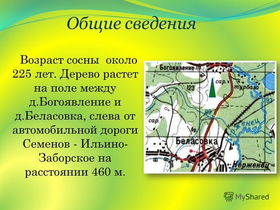Возраст сосны около 225 лет. Дерево растет на поле между д.Богоявление и д.Беласовка, слева от автомобильной дороги Семенов - Ильино- Заборское на расстоянии 460 м. Общие сведения