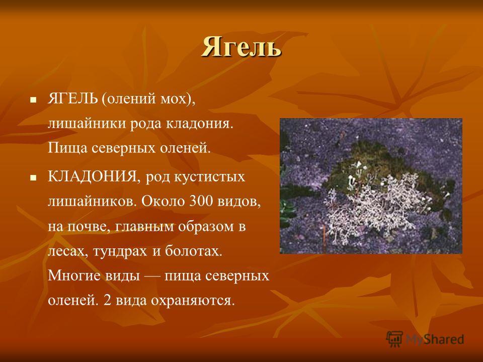 Ягель ЯГЕЛЬ (олений мох), лишайники рода кладония. Пища северных оленей. КЛАДОНИЯ, род кустистых лишайников. Около 300 видов, на почве, главным образом в лесах, тундрах и болотах. Многие виды пища северных оленей. 2 вида охраняются.
