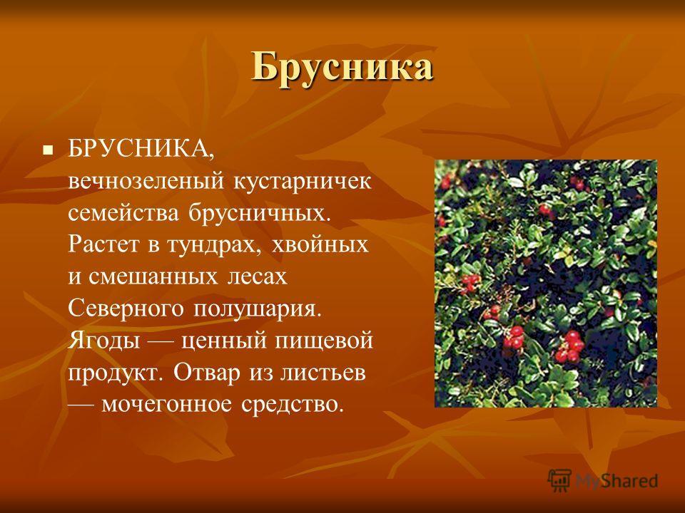 Брусника БРУСНИКА, вечнозеленый кустарничек семейства брусничных. Растет в тундрах, хвойных и смешанных лесах Северного полушария. Ягоды ценный пищевой продукт. Отвар из листьев мочегонное средство.