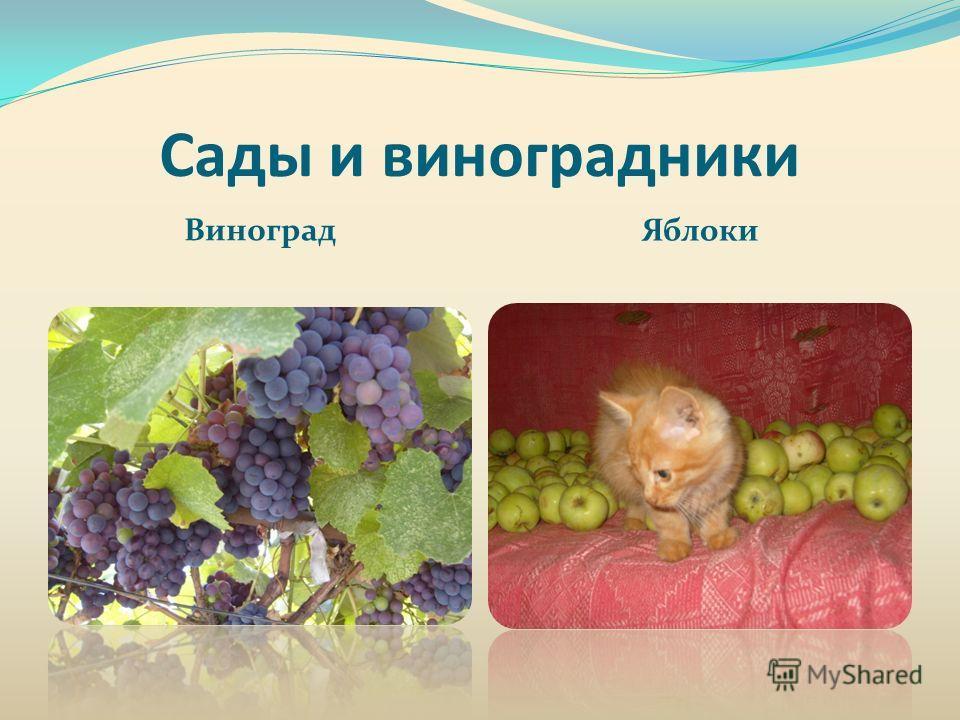 Сады и виноградники Виноград Яблоки
