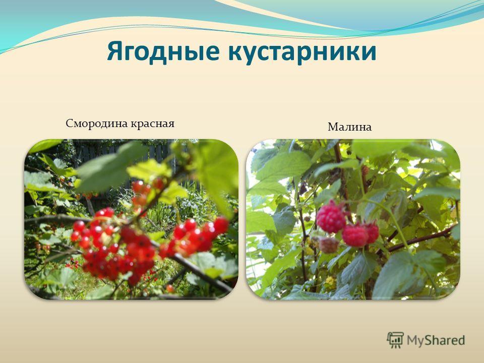 Ягодные кустарники Смородина красная Малина