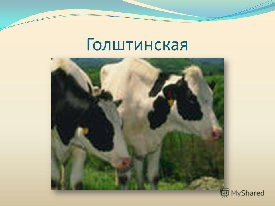 Голштинская