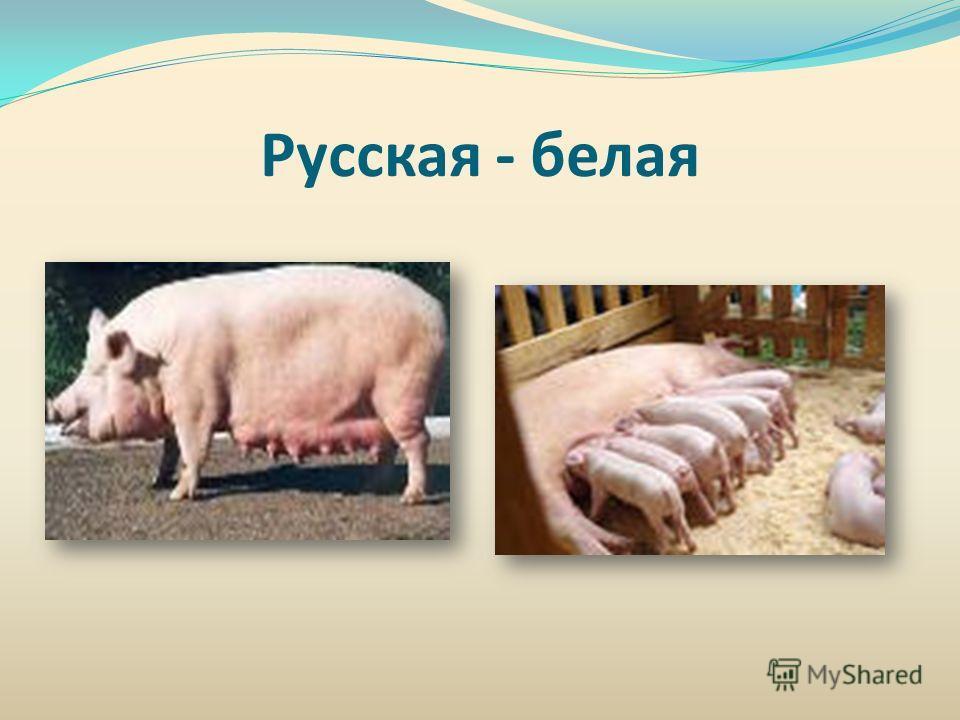 Русская - белая