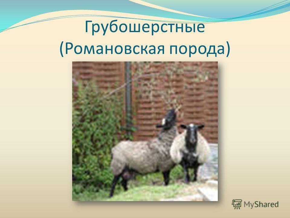Грубошерстные (Романовская порода)