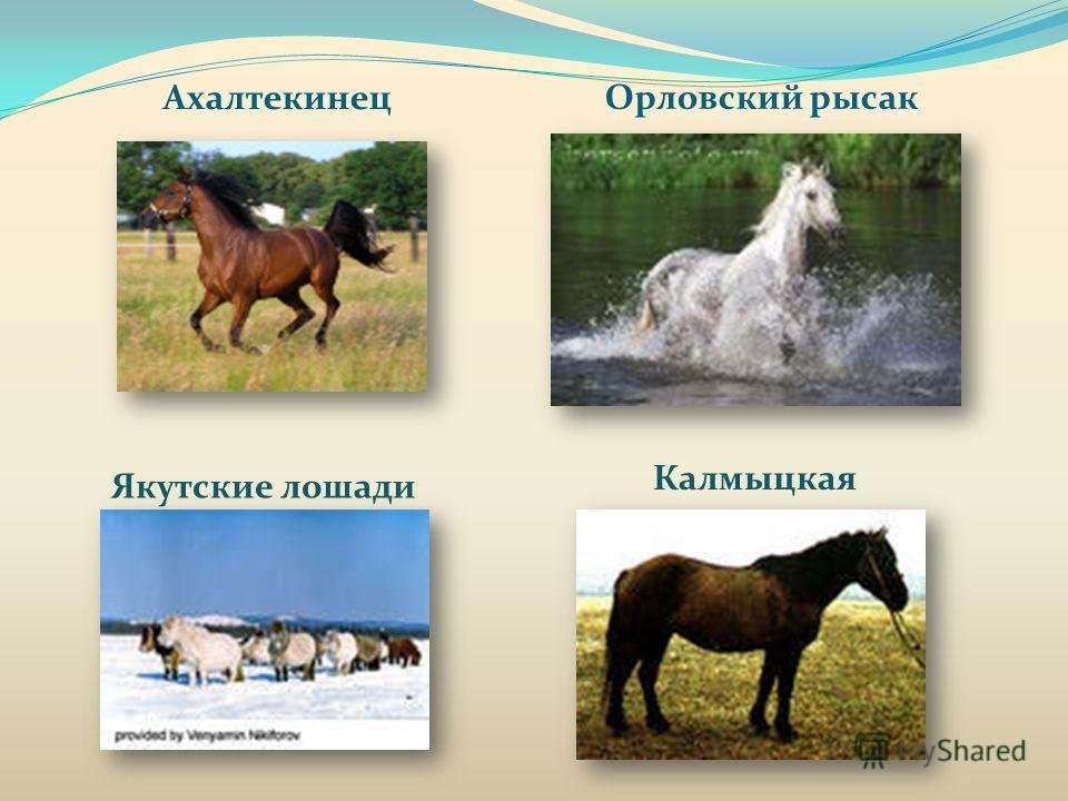 Ахалтекинец Орловский рысак Якутские лошади Калмыцкая