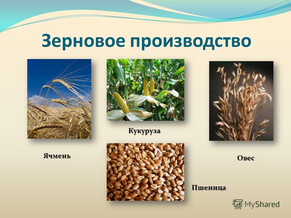 Зерновое производство Ячмень Кукуруза Овес Пшеница