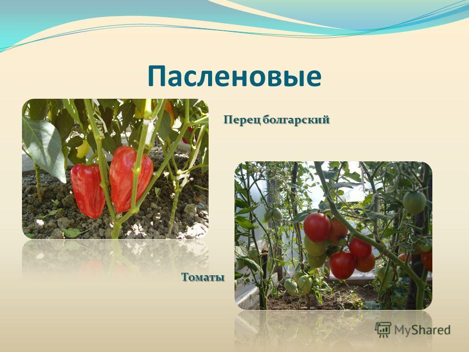 Пасленовые Перец болгарский Томаты
