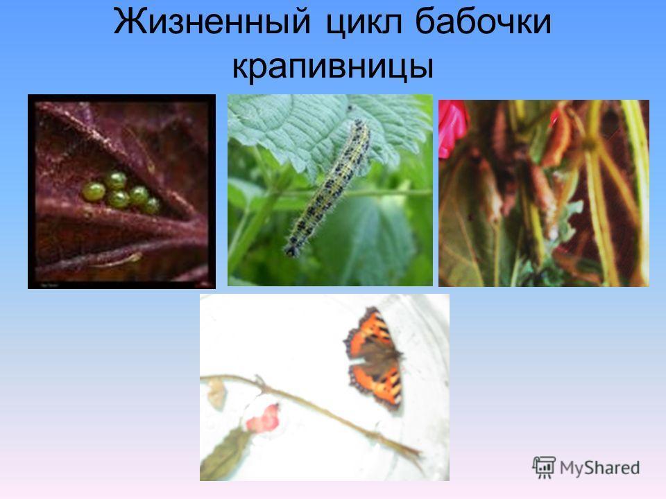 Жизненный цикл бабочки крапивницы