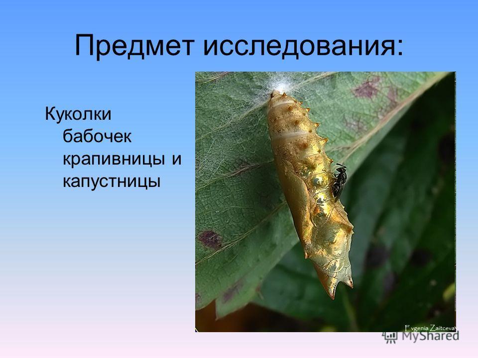 Предмет исследования: Куколки бабочек крапивницы и капустницы